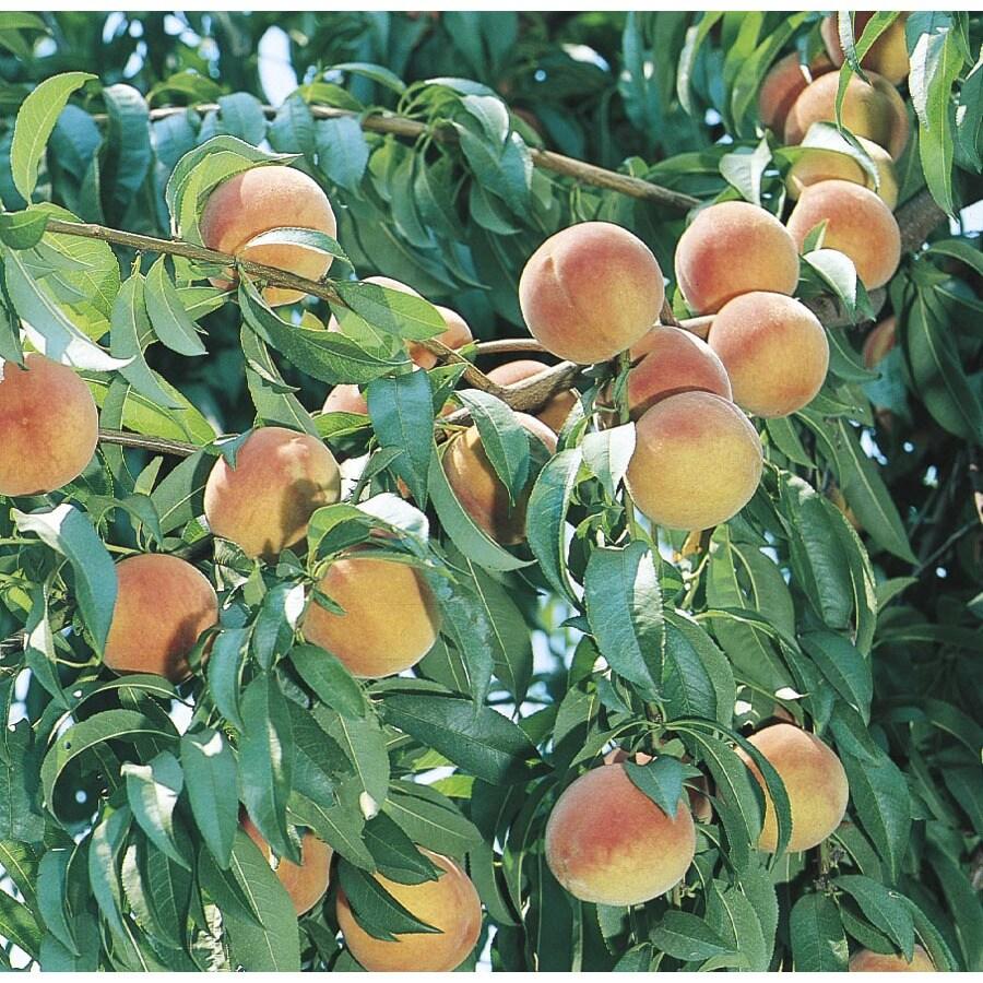9.55-Gallon Colorstar Peach Tree (L24771)