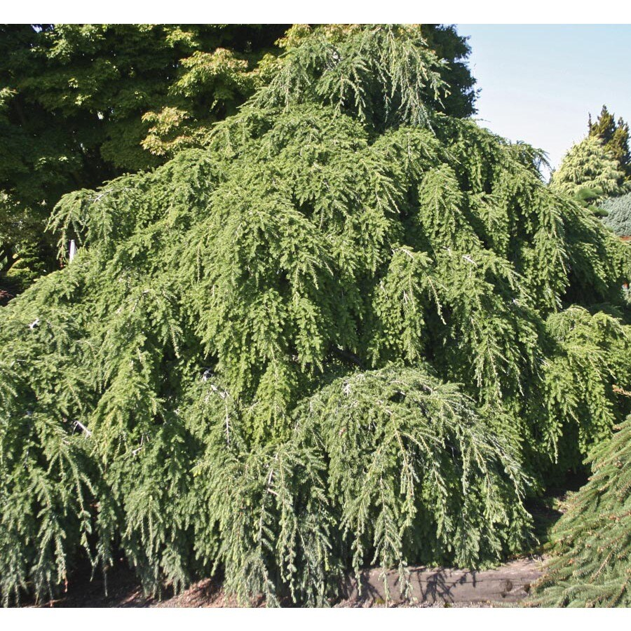 5-Gallon Weeping Hemlock Feature Tree (L25890)