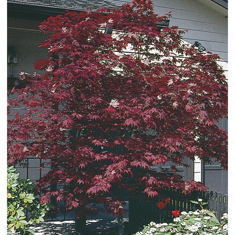 9.55-Gallon Assorted Upright Japanese Maple Feature Tree (L5413)