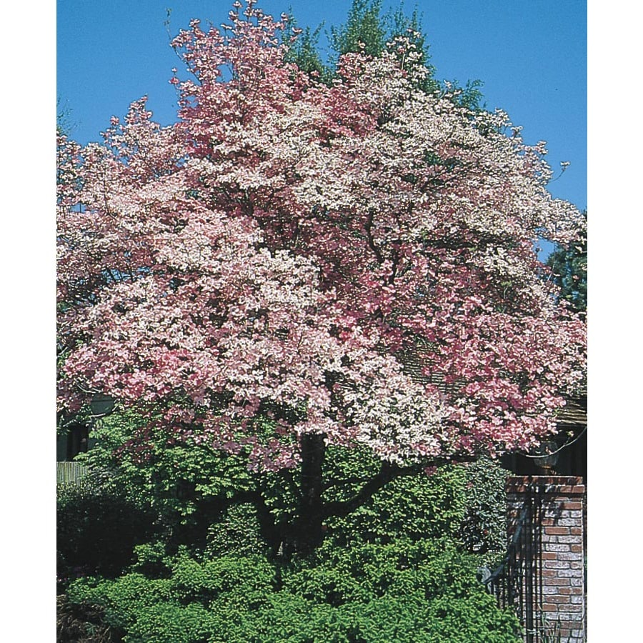 5.98-Gallon Red Flowering Dogwood Flowering Tree (L1022)