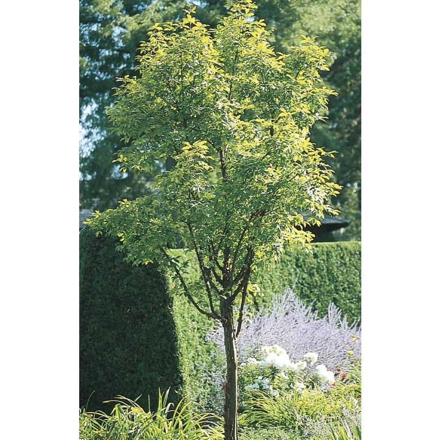 12.07-Gallon Paperbark Maple Shade Tree (L24025)