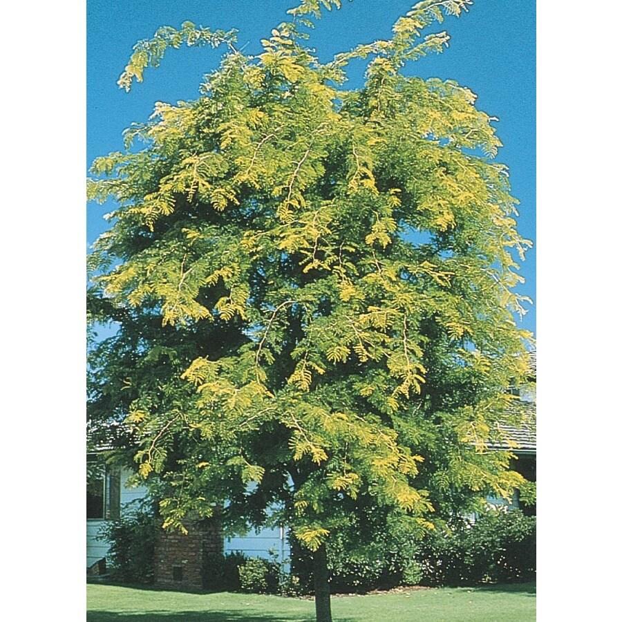 12.07-Gallon Sunburst Honeylocust Shade Tree (L1059)