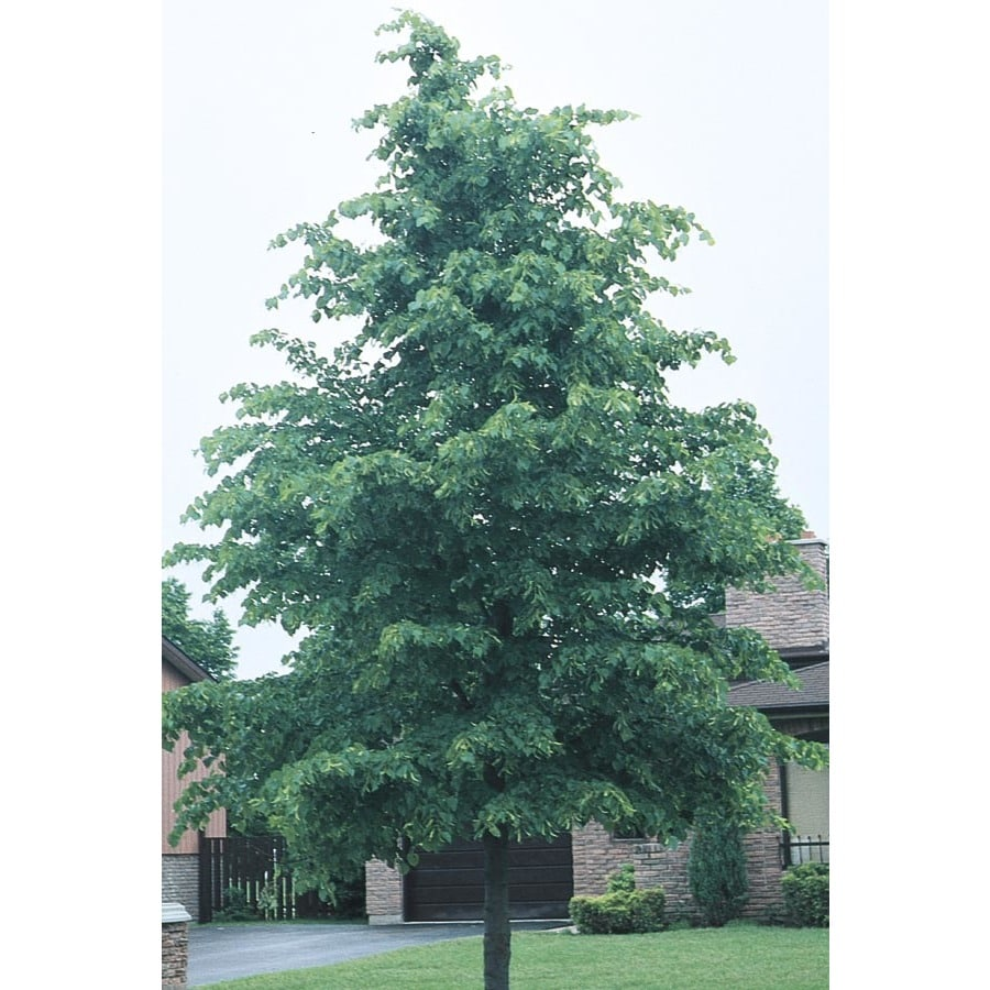 Shop littleleaf linden shade tree l6140 at for Miniature shade trees