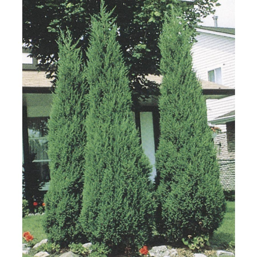 9.55-Gallon Skyrocket Juniper Feature Shrub (L5113)
