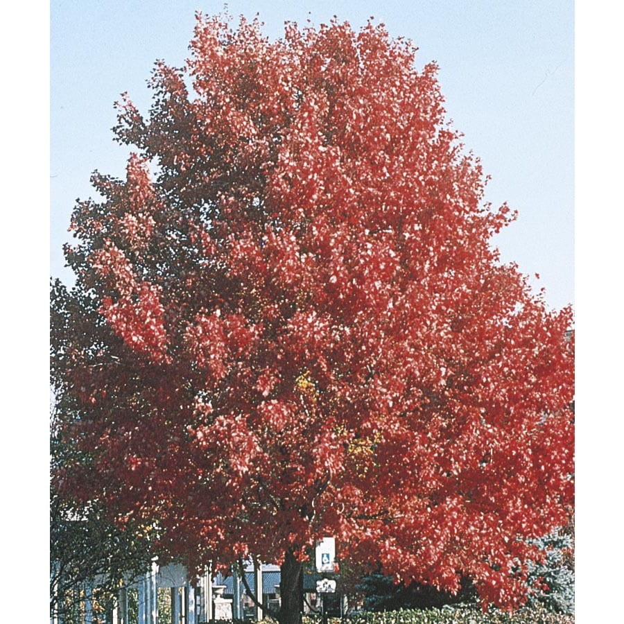 19.78-Gallon October Glory Maple Shade Tree (L3171)
