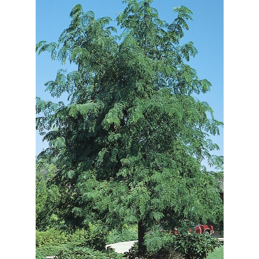 12.07-Gallon Skyline Honeylocust Shade Tree (L1079)