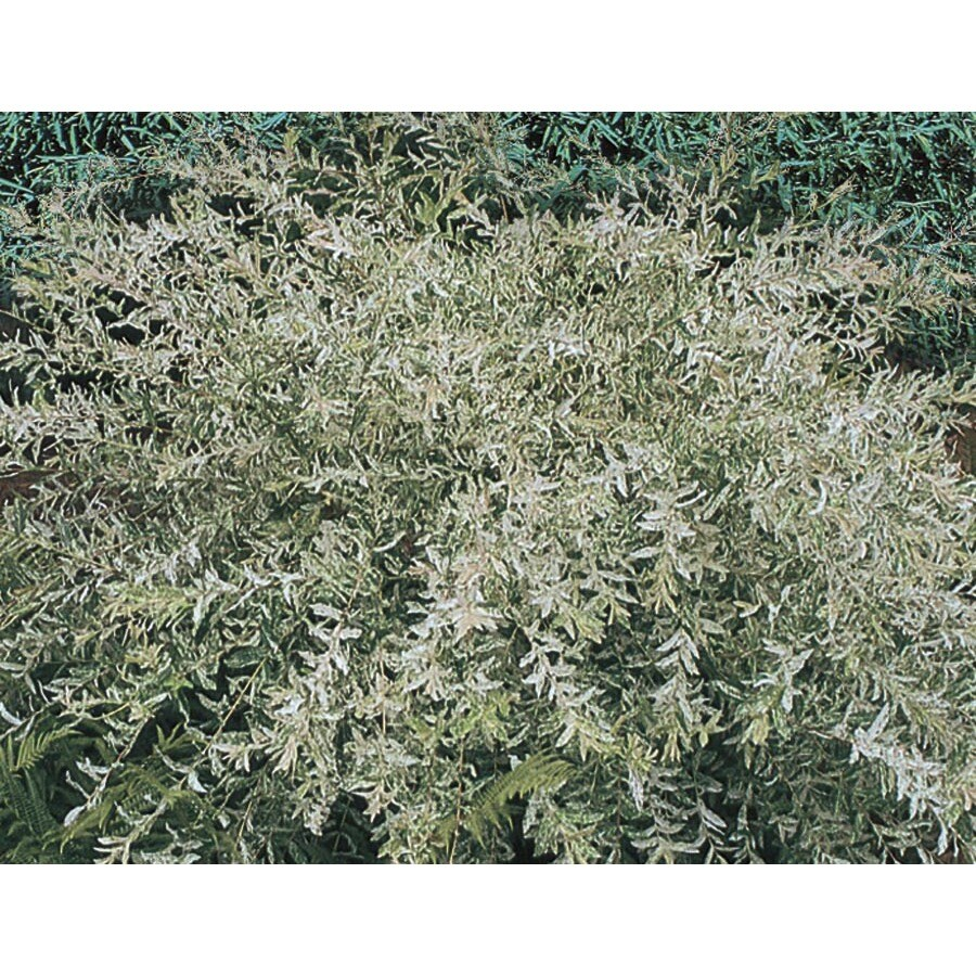 9.55-Gallon Dappled Willow Accent Shrub (L20514)