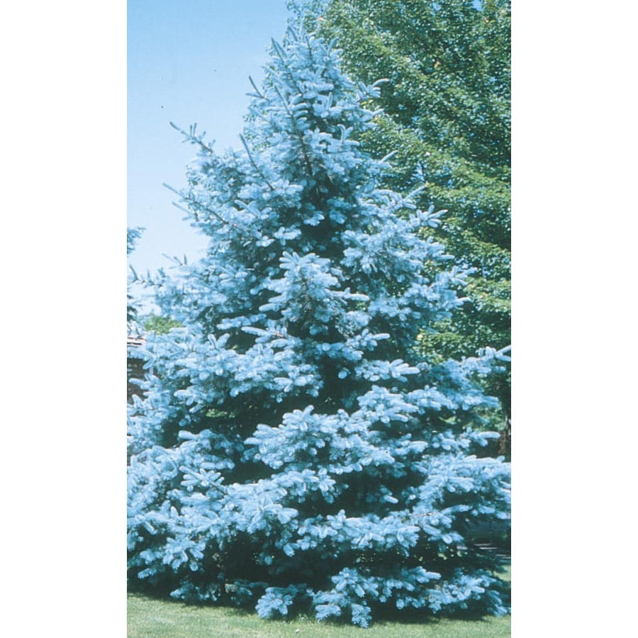5.98-Gallon Bacheri Blue Spruce Feature Tree (LW02136)