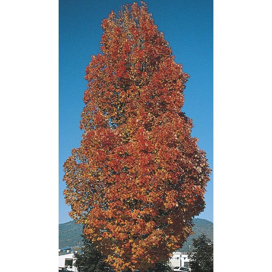 19.78-Gallon Armstrong Red Maple Shade Tree (LW03548)