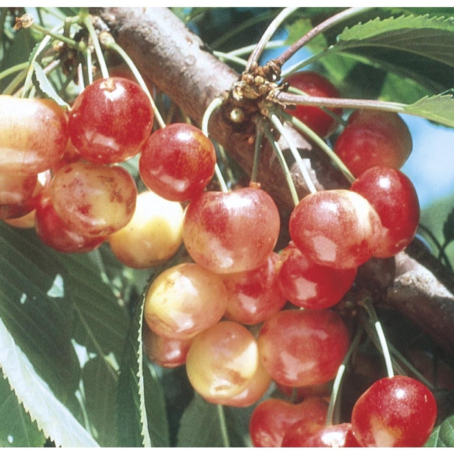 9-Gallon Rainier Cherry Tree (L10480)