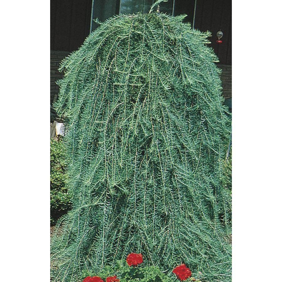 10.25-Gallon Weeping Larch Feature Tree (L17067)