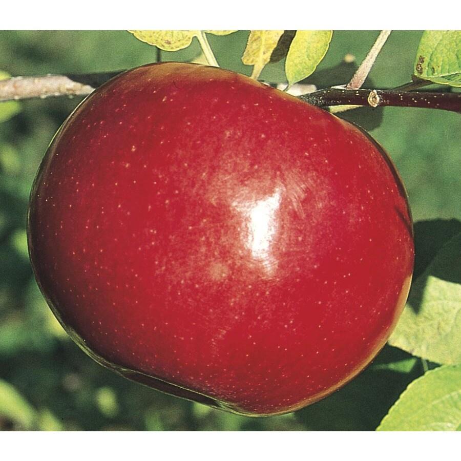 9-Gallon Mcintosh Apple Tree (L1305)
