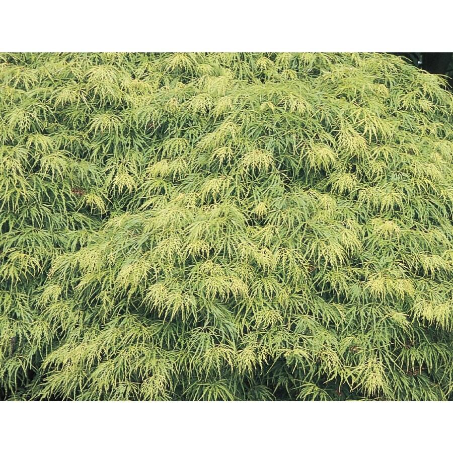19.78-Gallon Laceleaf Japanese Maple Feature Tree (L11472)