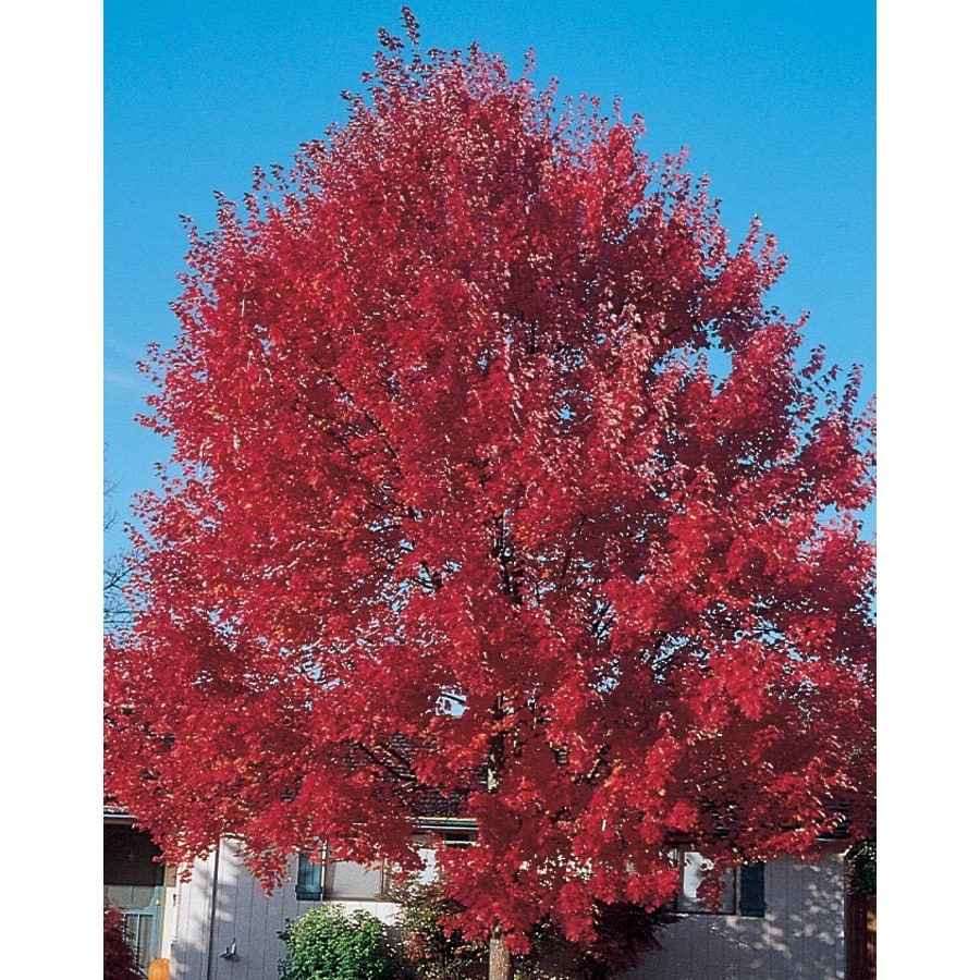 5.98-Gallon Sun Valley Red Maple Shade Tree (L2080)