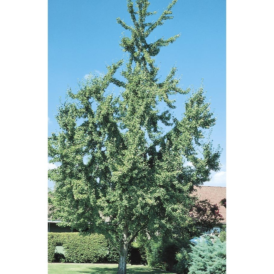 9.55-Gallon Ginkgo Shade Tree (L1045)