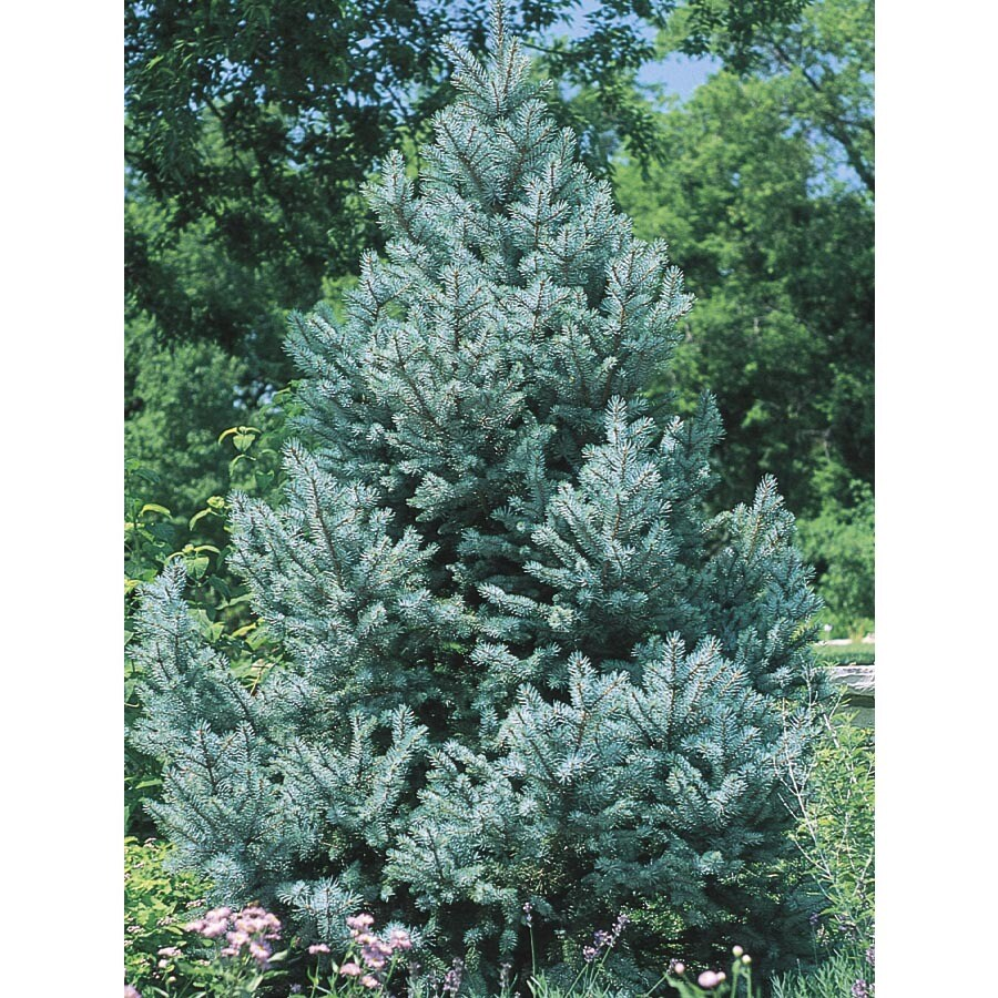12.07-Gallon Fat Albert Spruce Feature Tree (L4805)