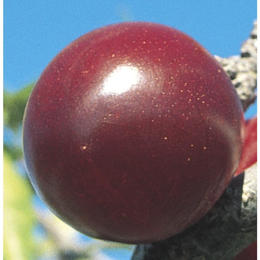 5-Gallon Mariposa Semi-Dwarf Plum Tree (LW01696)