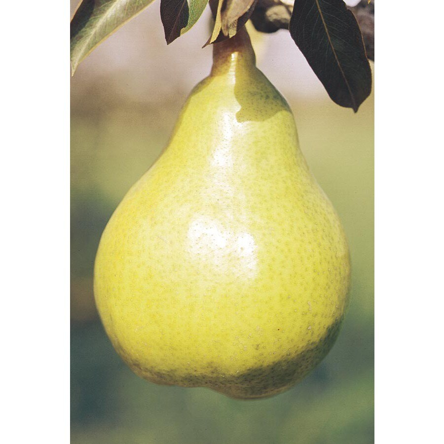 5.98-Gallon Bartlett Pear Tree (L1386)
