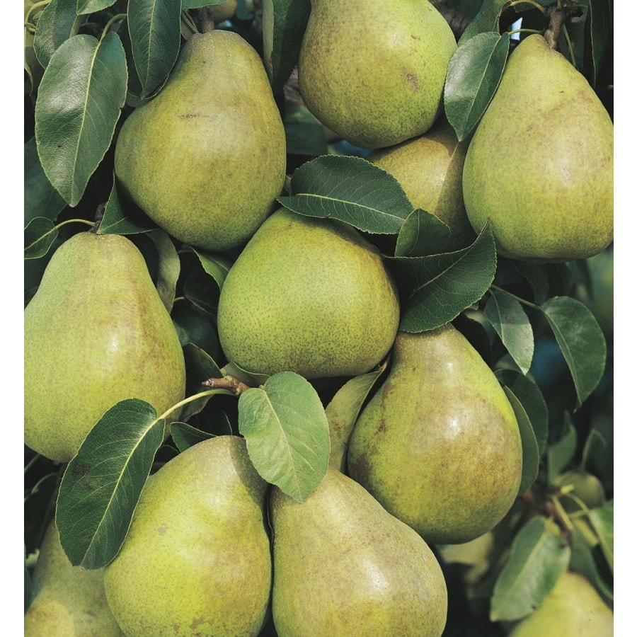 5-Gallon Comice Pear Tree (L10495)