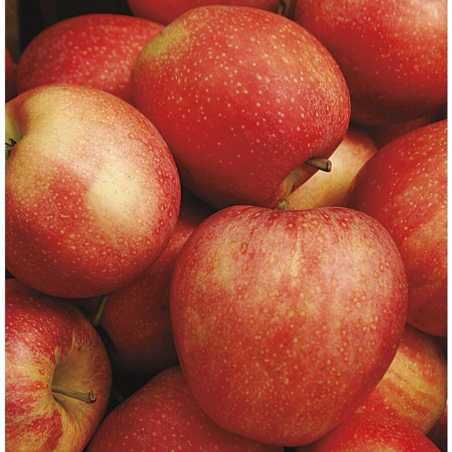5.98-Gallon Honeycrisp Apple Tree (L11893)