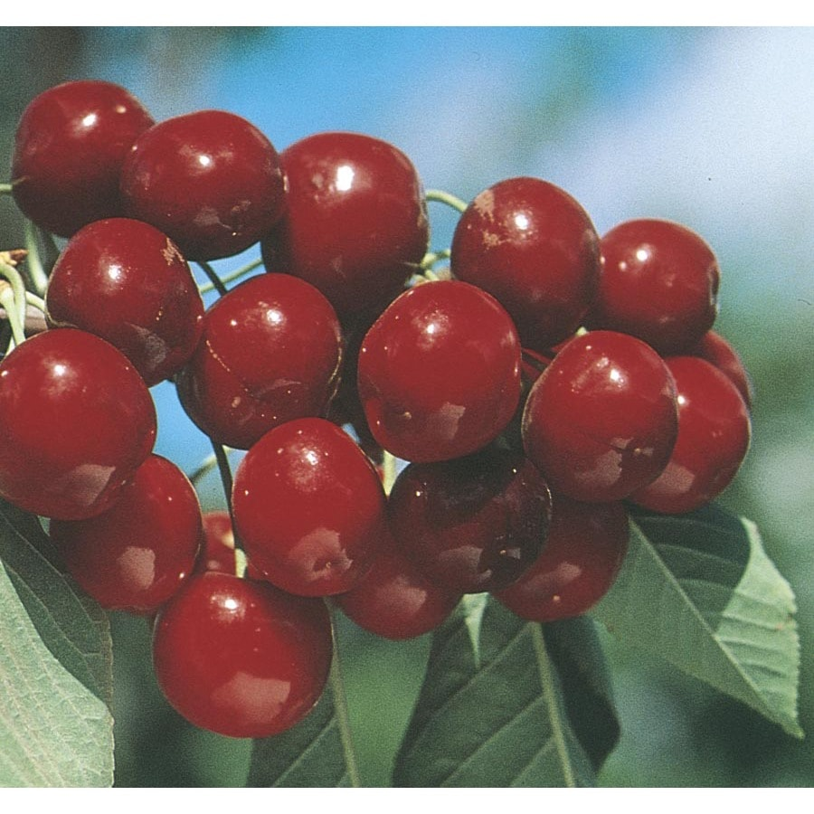 5.98-Gallon Bing Cherry Tree (L1393)