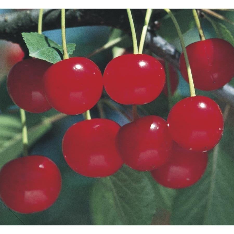 5-Gallon Montmorency Cherry Tree (L1400)