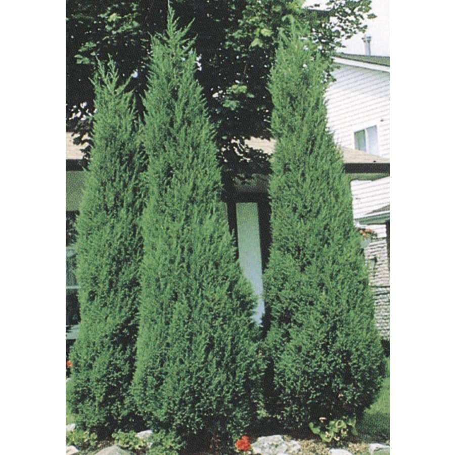 12.07-Gallon Skyrocket Juniper Feature Shrub (L5113)