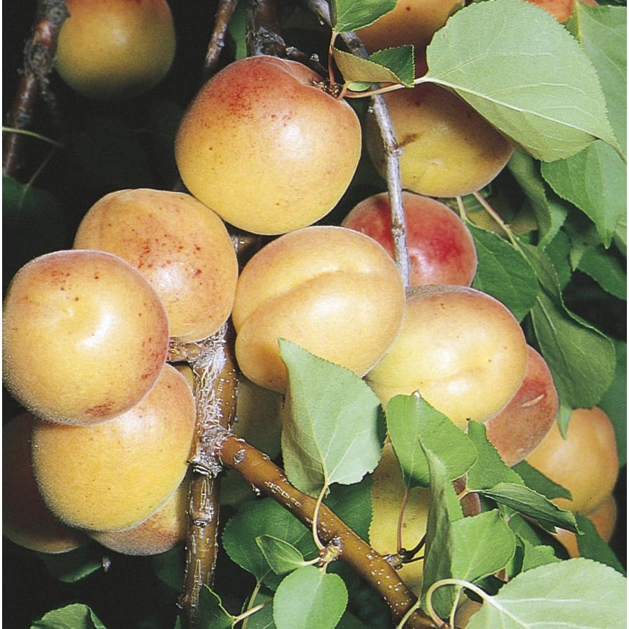 5-Gallon Moorpark Apricot Tree (L3633)
