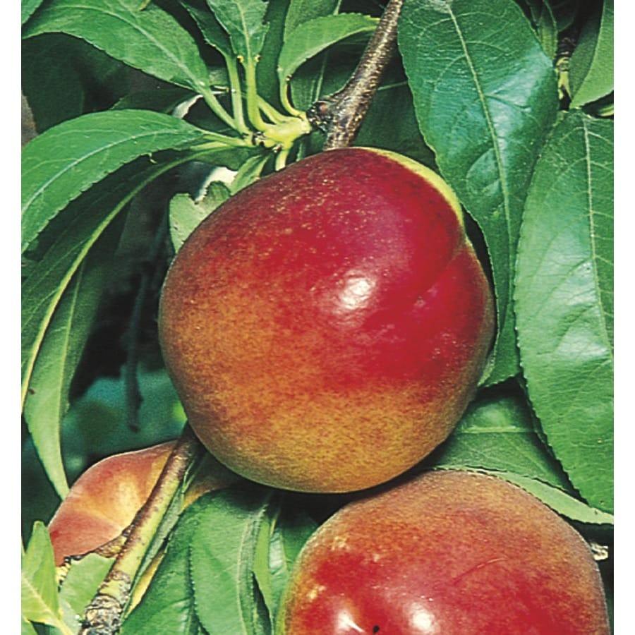 5-Gallon Fantasia Nectarine Tree (L10489)