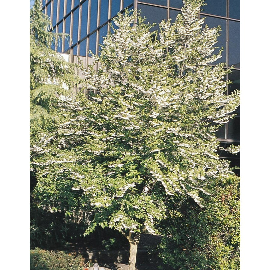 12.07-Gallon Japanese Snowbell Flowering Tree (L14275)