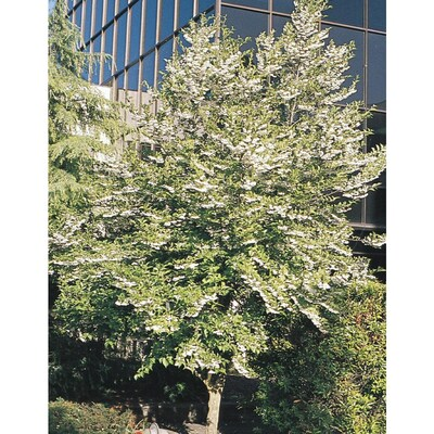 12 07 Gallon White Japanese Snowbell Flowering Tree In Pot With