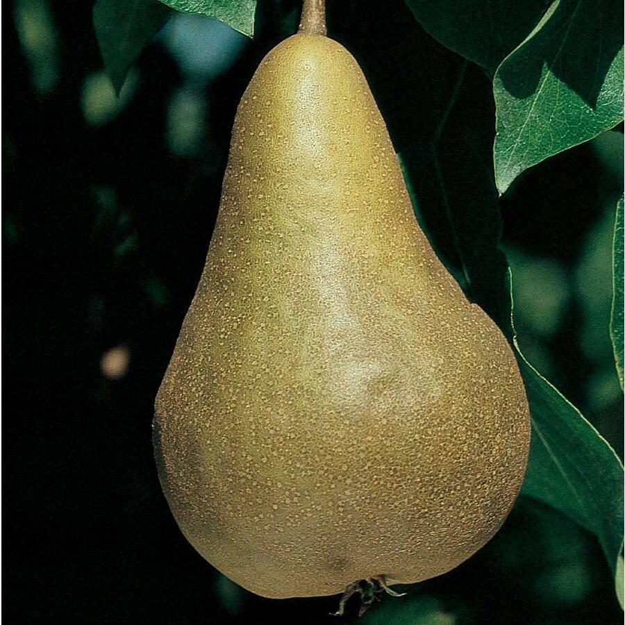 3.63-Gallon Bosc Pear Tree (L10494)