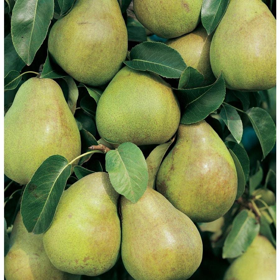 Shop 3 63 Gallon Comice Pear Tree L10495 At Lowes Com