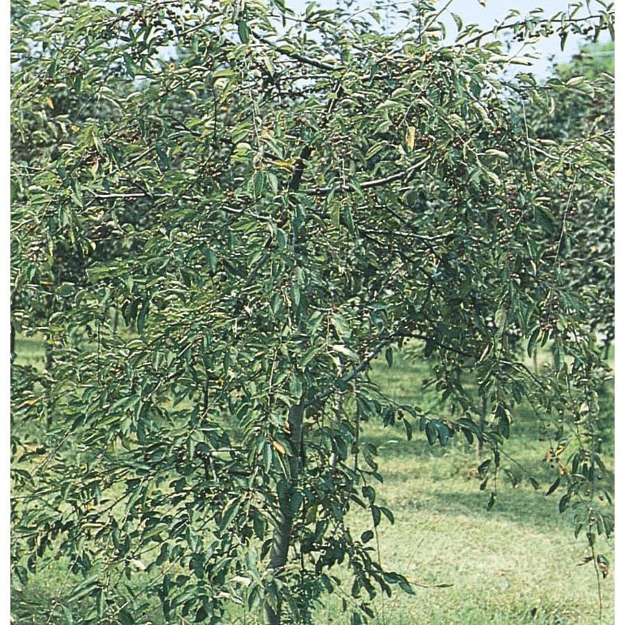 9.55-Gallon Candied Apple Weeping Crabapple Flowering Tree (L3594)
