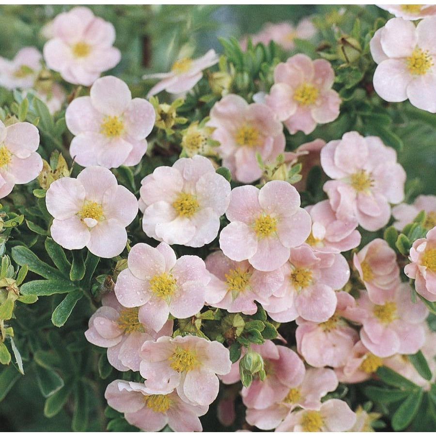 3.63-Gallon Pink Beauty Potentilla Flowering Shrub (L14254)