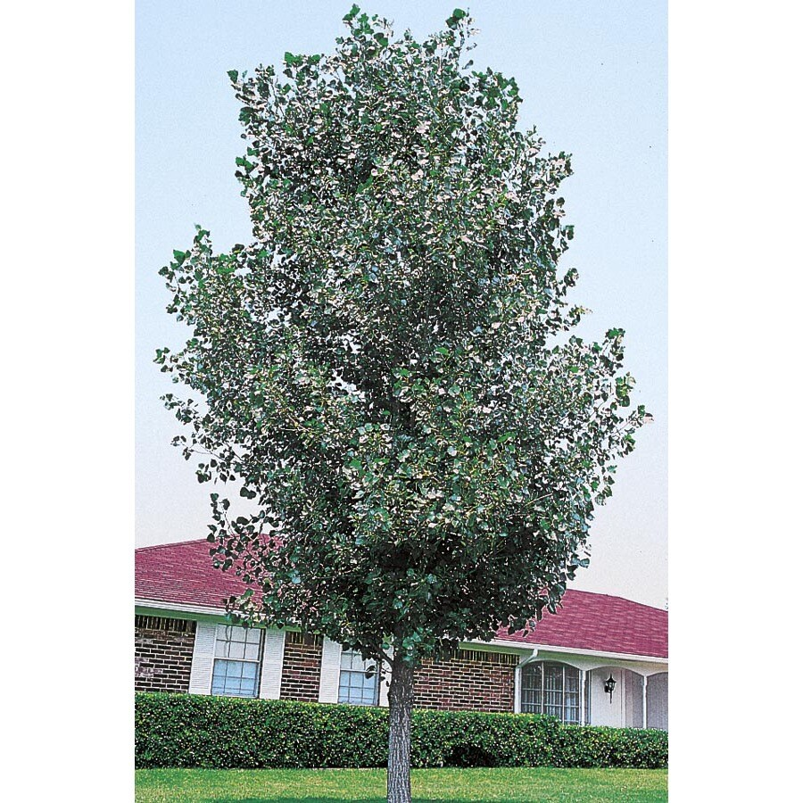 12.07-Gallon Cottonless Cottonwood Shade Tree (L3624)
