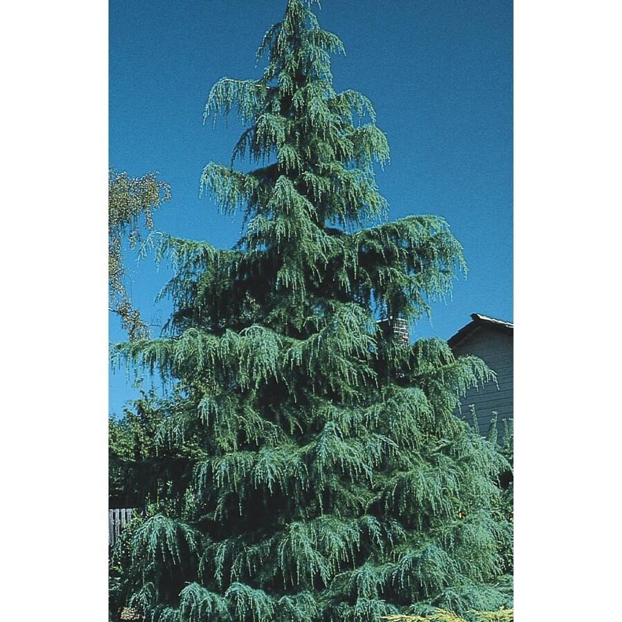 19.78-Gallon Deodar Cedar Feature Tree (L4674)