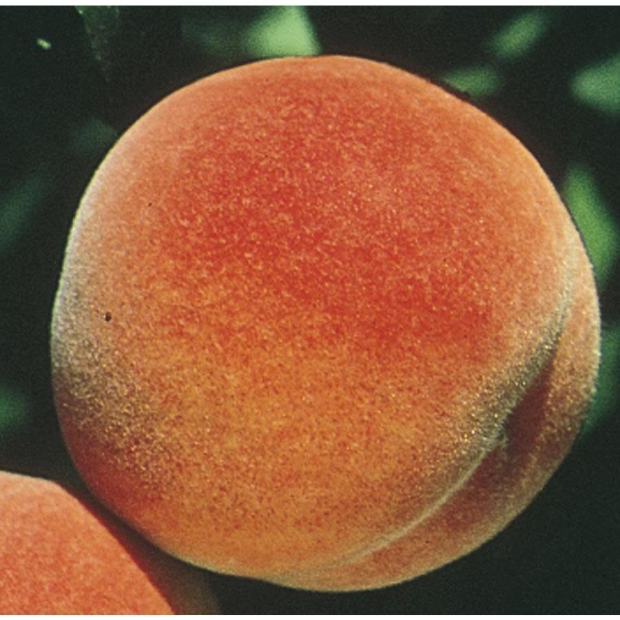 5-Gallon Stellar Autumnstar Peach Tree (L24088)