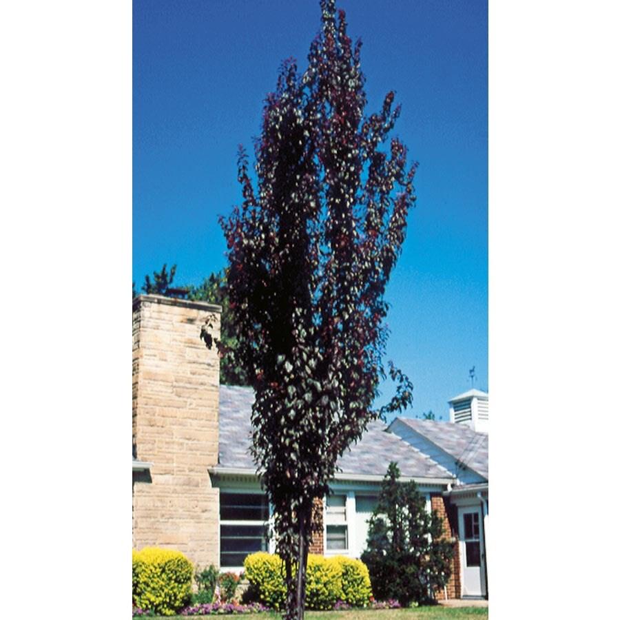 12.07-Gallon Crimson Pointe Flowering Plum Flowering Tree (L24031)