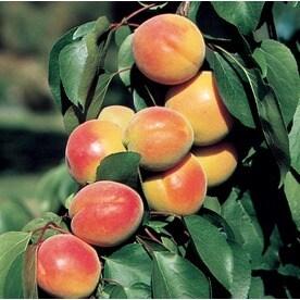 Fruit Plants at Lowesforpros com
