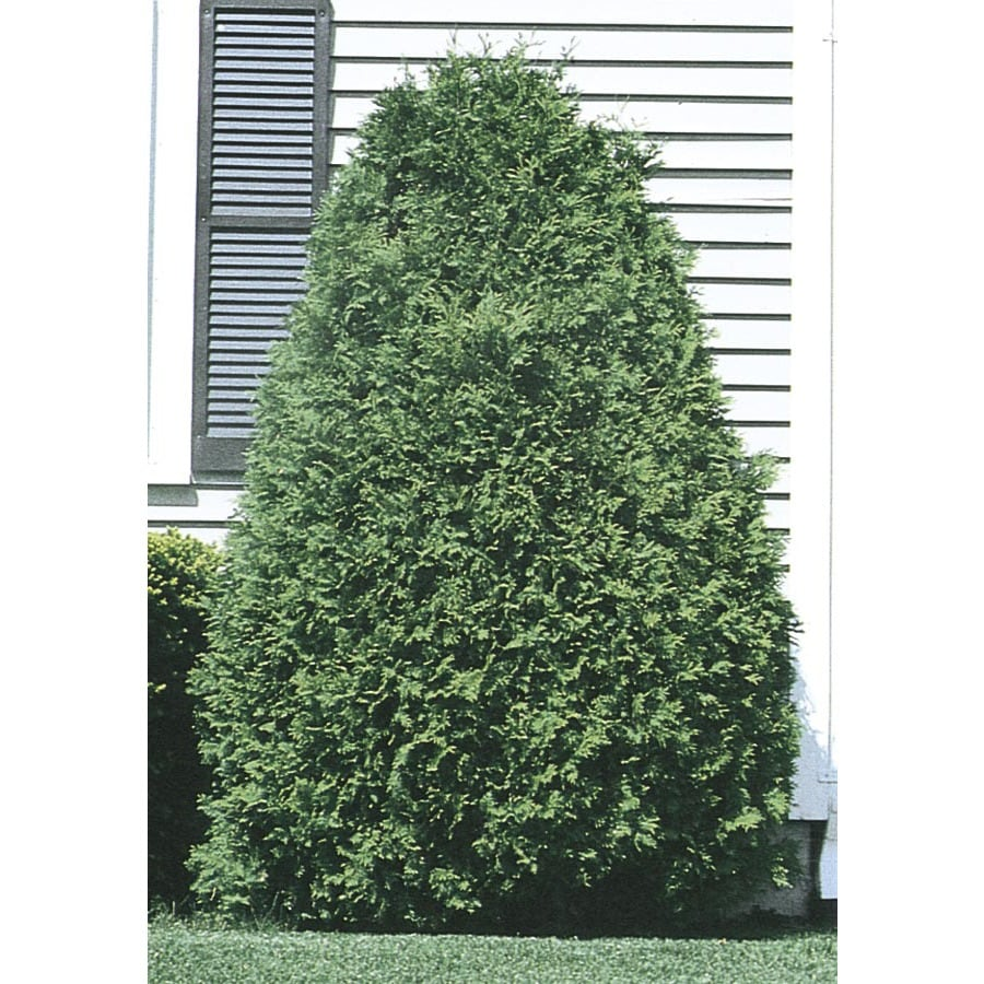 5.98-Gallon Techny Arborvitae Screening Shrub (L3949)