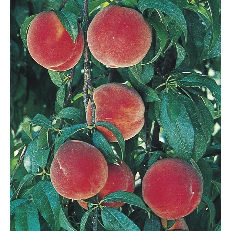 9.55-Gallon Redstar Peach Tree (L24825)