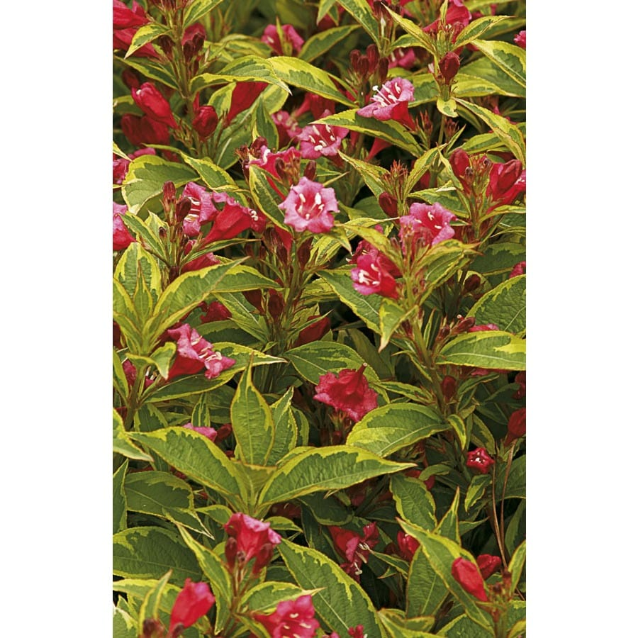 6.96-Gallon Red French Lace Weigela Flowering Shrub (L0129)