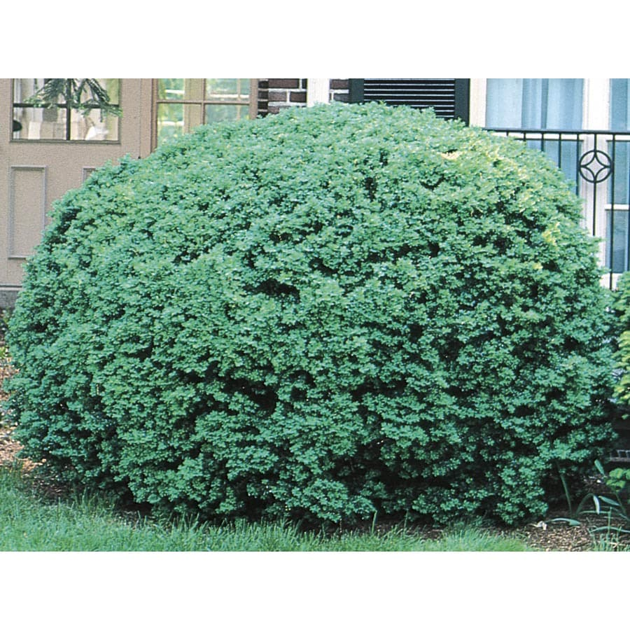 6.96-Gallon Dwarf English Boxwood Foundation/Hedge Shrub (L4185)