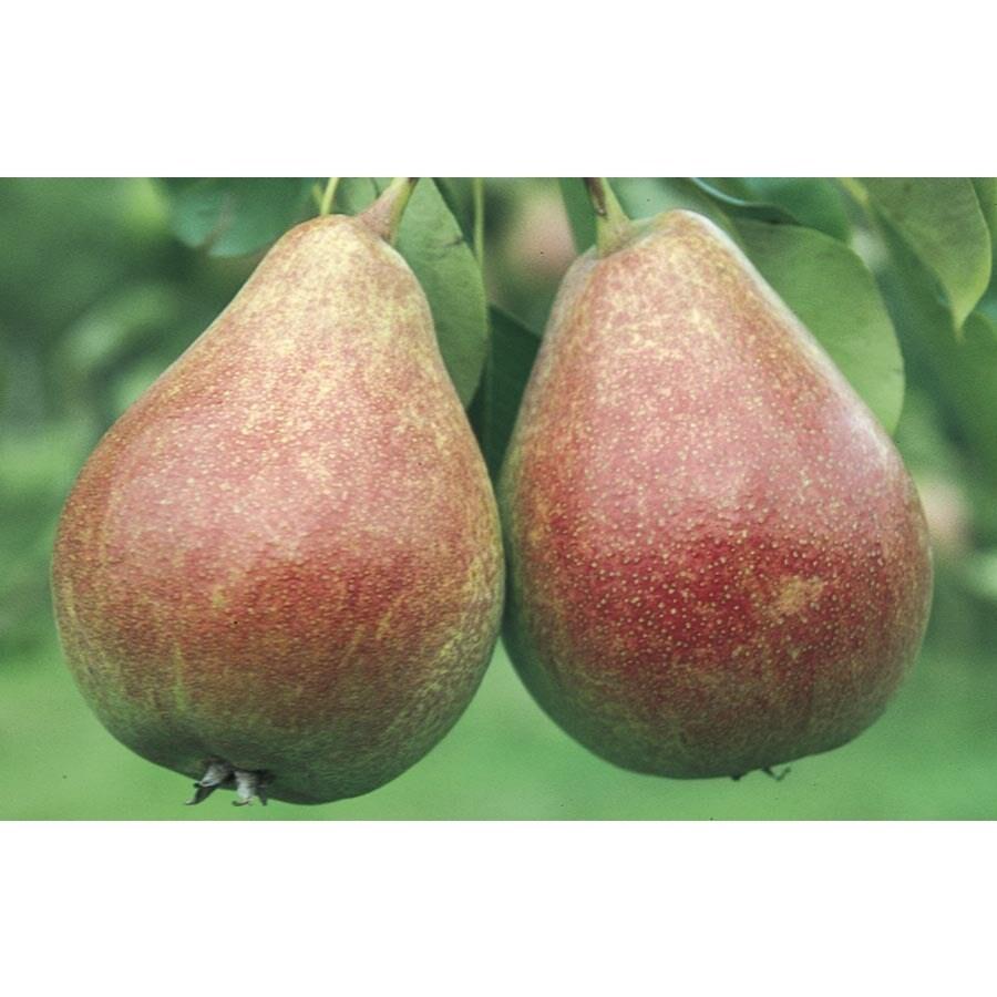 5.98-Gallon Harrow Delight Pear Tree (L24826)