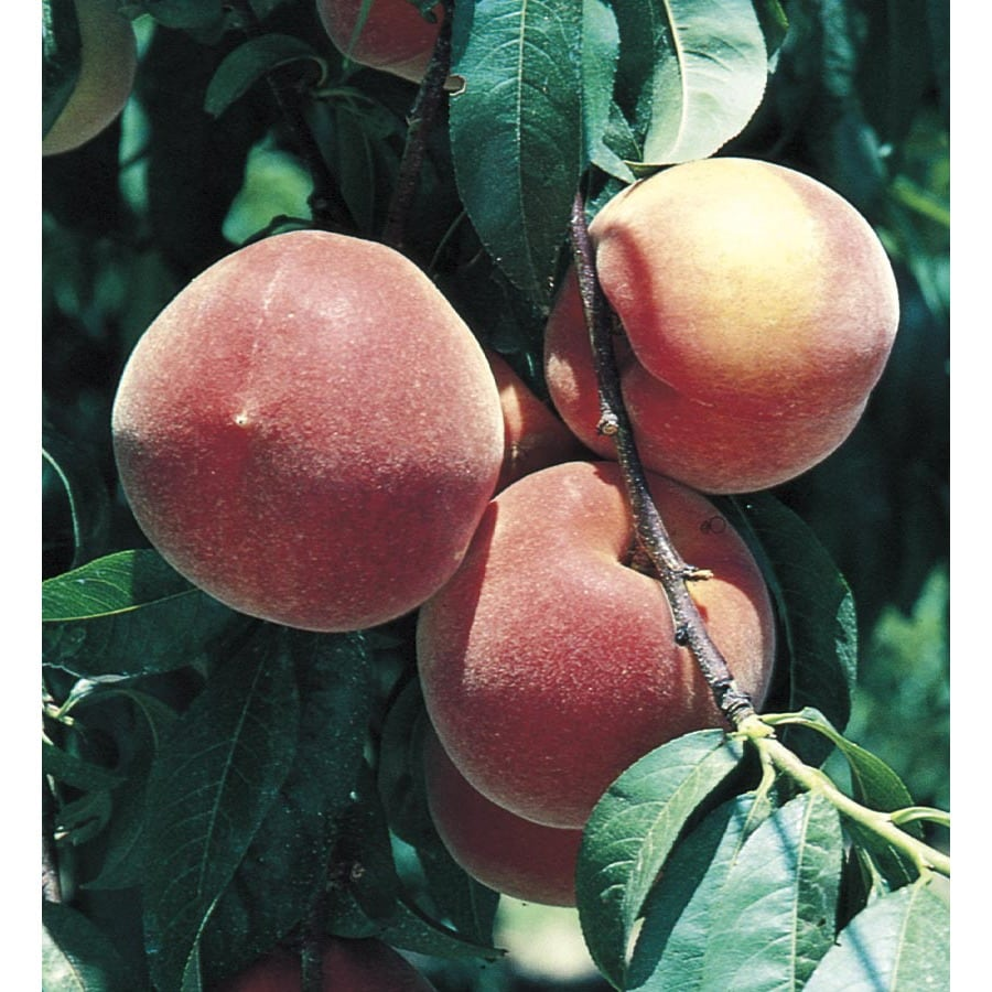 5.98-Gallon Glowingstar Peach Tree (L24772)