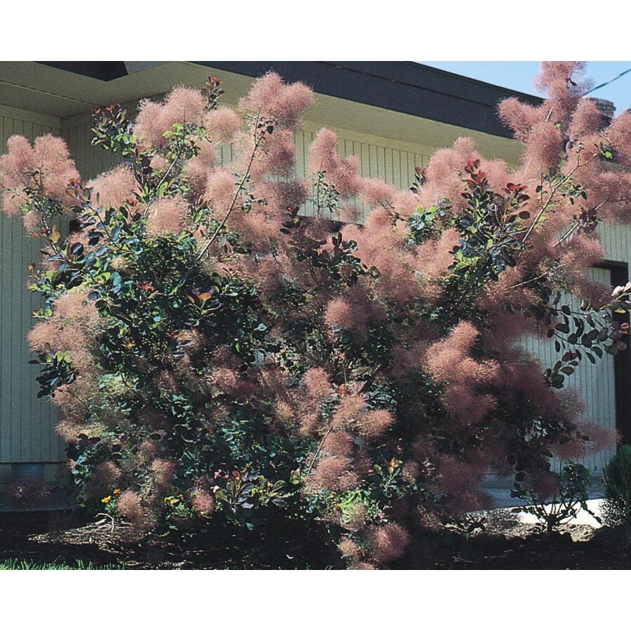 1.6-Gallon Pink Smoke Tree Feature Shrub (L4697)