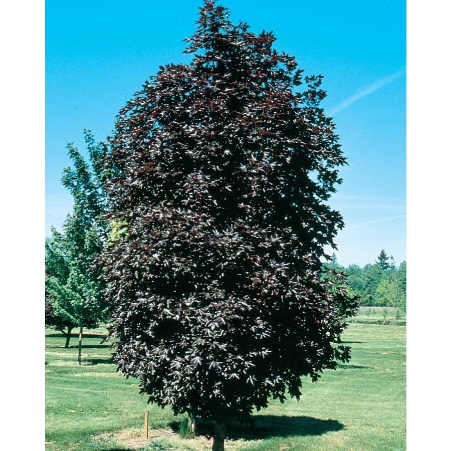 5.98-Gallon Crimson Sentry Norway Maple Shade Tree (L24026)