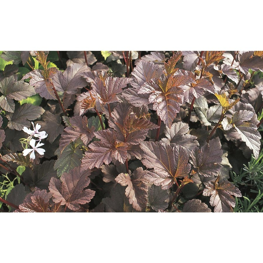 6.96-Gallon White Diablo Purple Leaved Ninebark Accent Shrub (L11316)