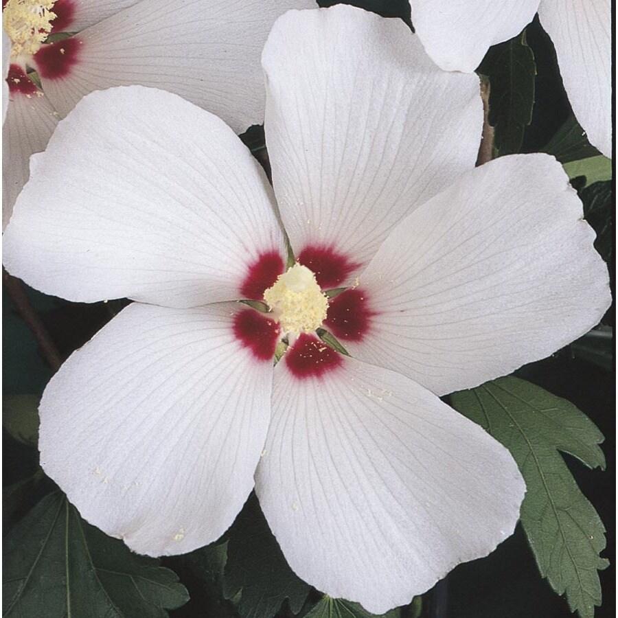 6.96-Gallon Bicolor Red Heart Althea Flowering Shrub (LW00214)